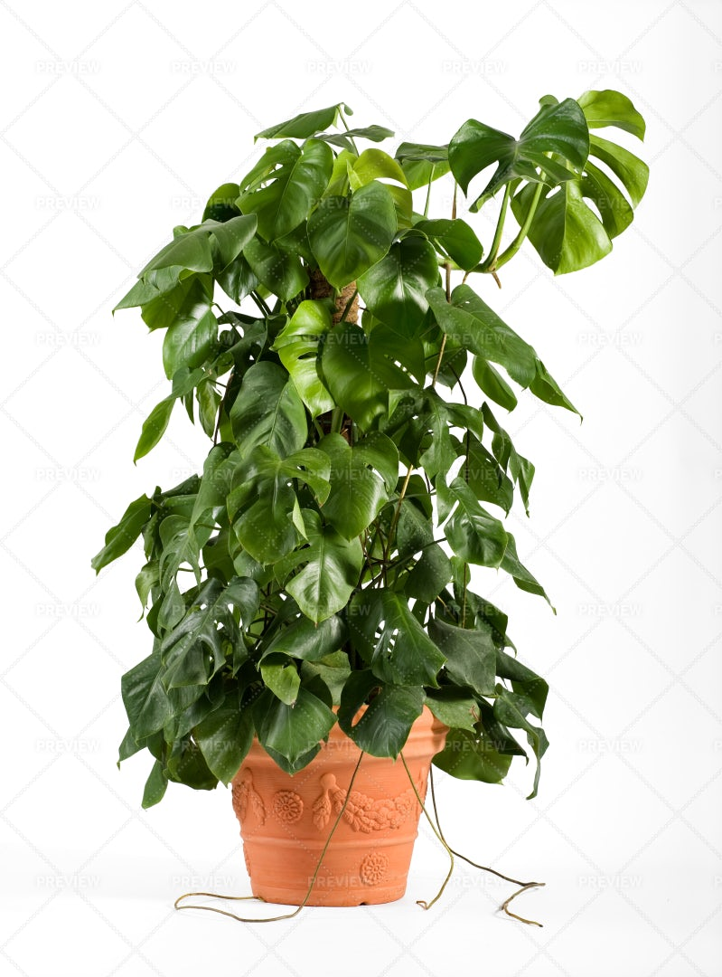 Leafy Monstera Plant: Stock Photos