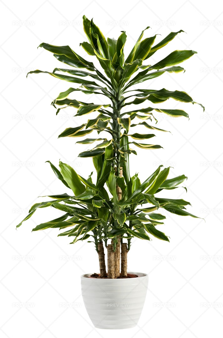Dracaena Fragrans Plant: Stock Photos