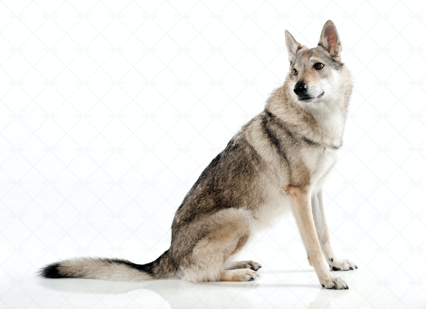 A Sitting Czechoslovakian Wolfdog: Stock Photos