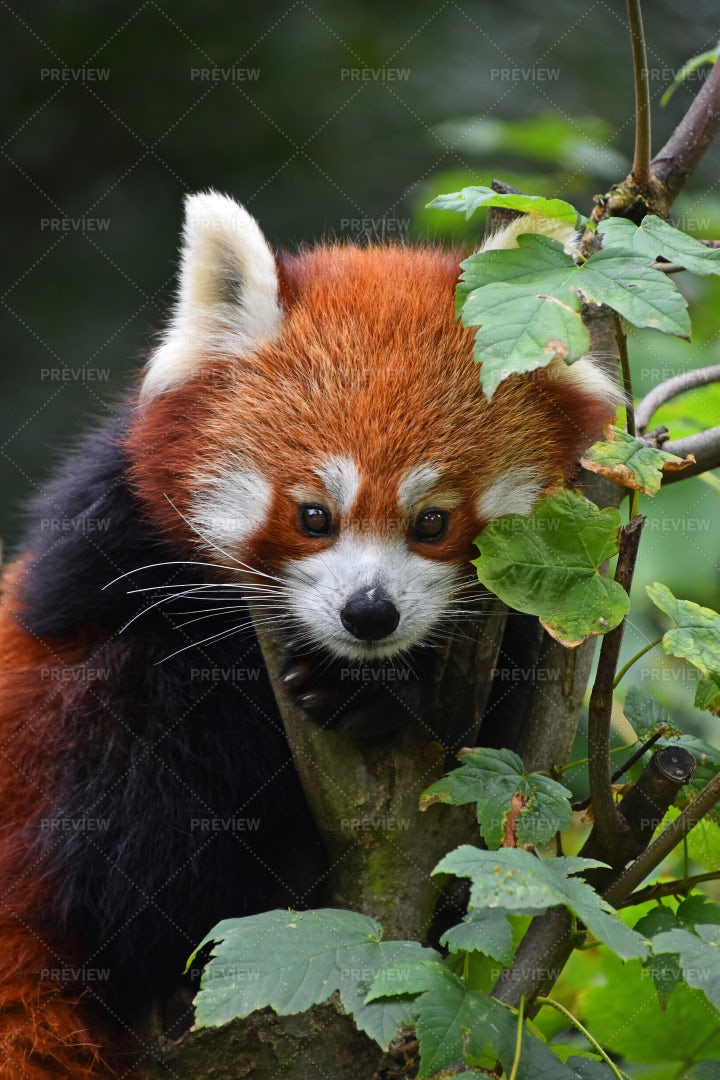Red Panda On A Tree: Stock Photos