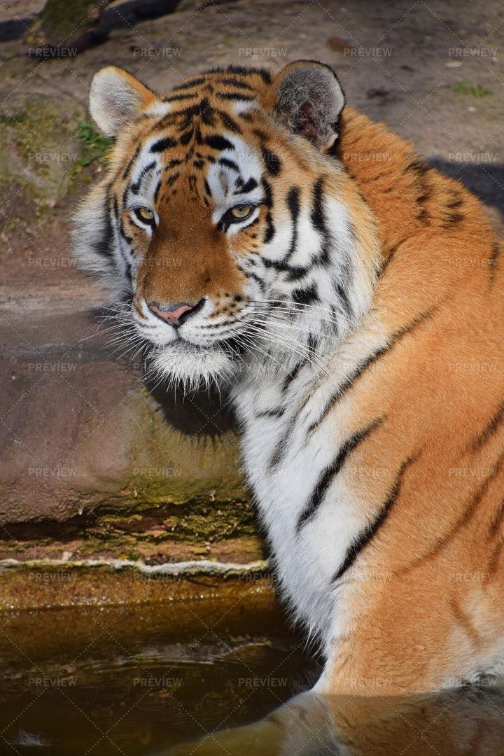 A Siberian Tiger: Stock Photos