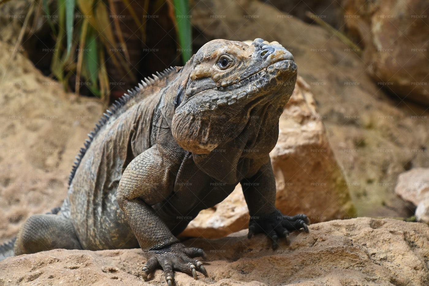 Rhinoceros Iguana: Stock Photos