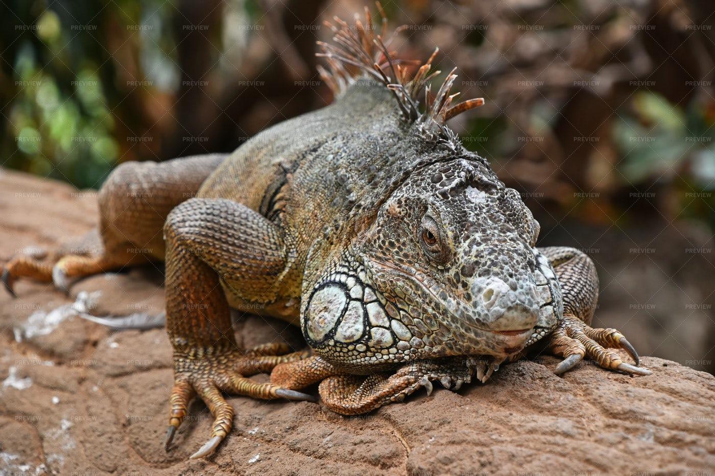 Portrait Of Green Iguana: Stock Photos