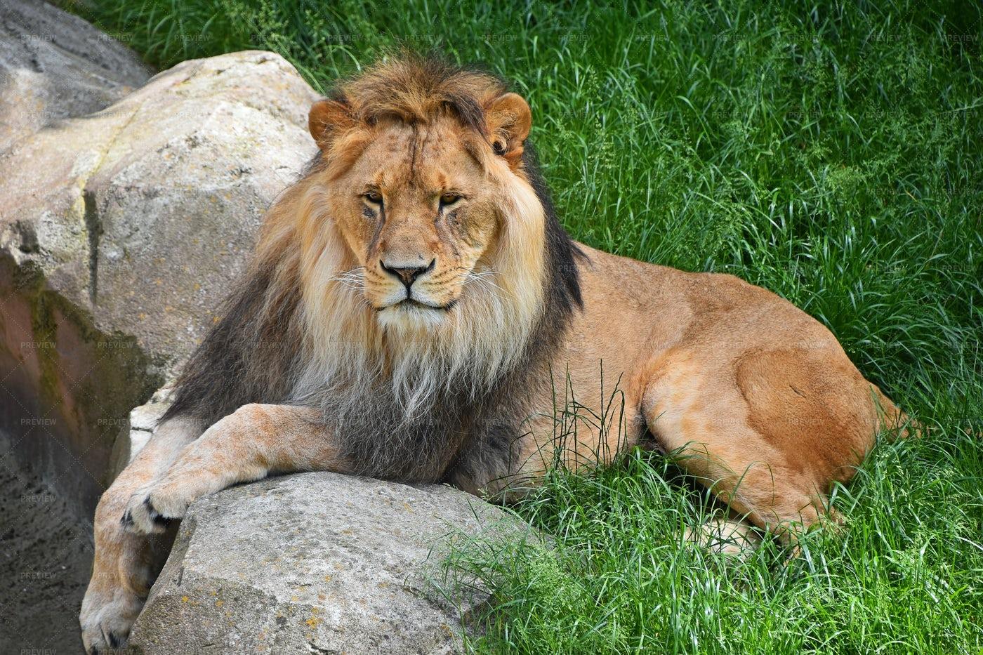 A Resting Lion: Stock Photos
