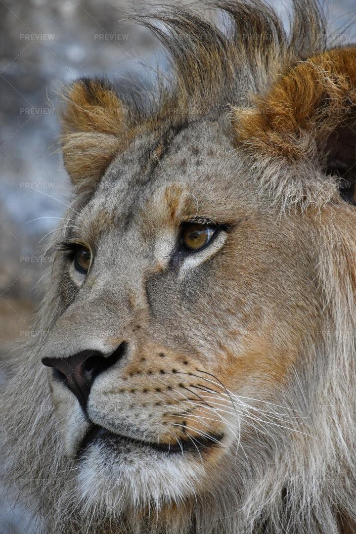 Portrait Of African Lion: Stock Photos