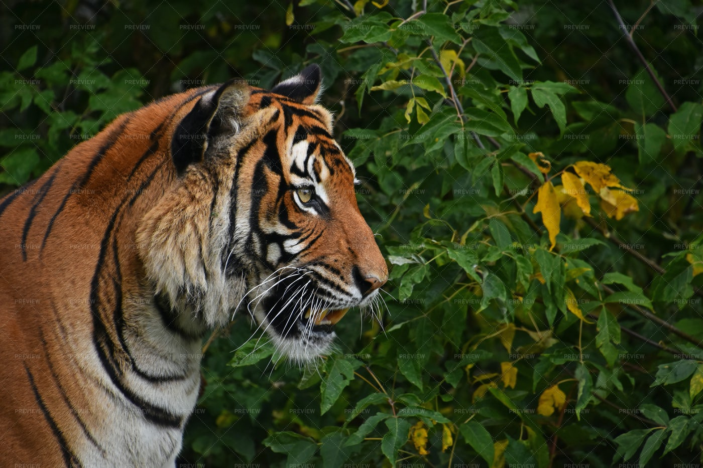 Indochinese Tiger: Stock Photos