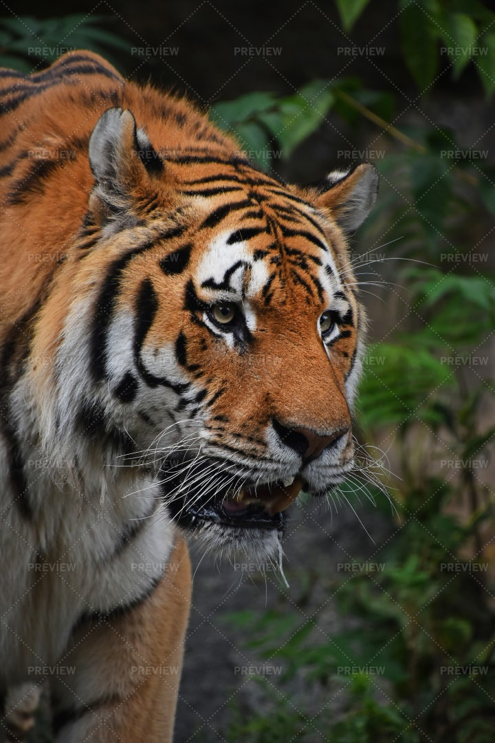 Siberian Tiger Portrait: Stock Photos