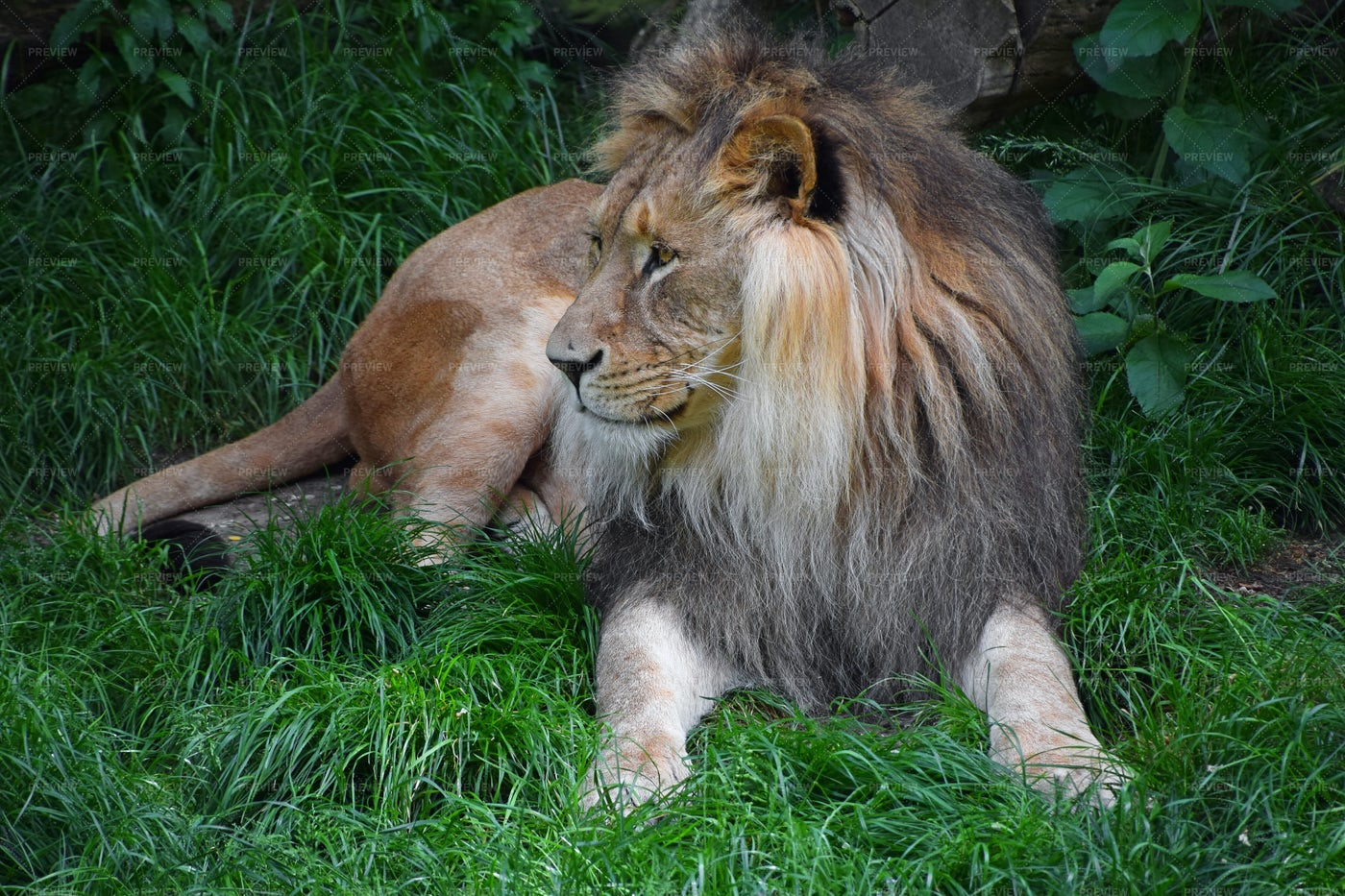 Lion In The Grass: Stock Photos