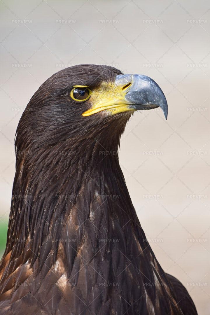 Portrait Of Golden Eagle: Stock Photos