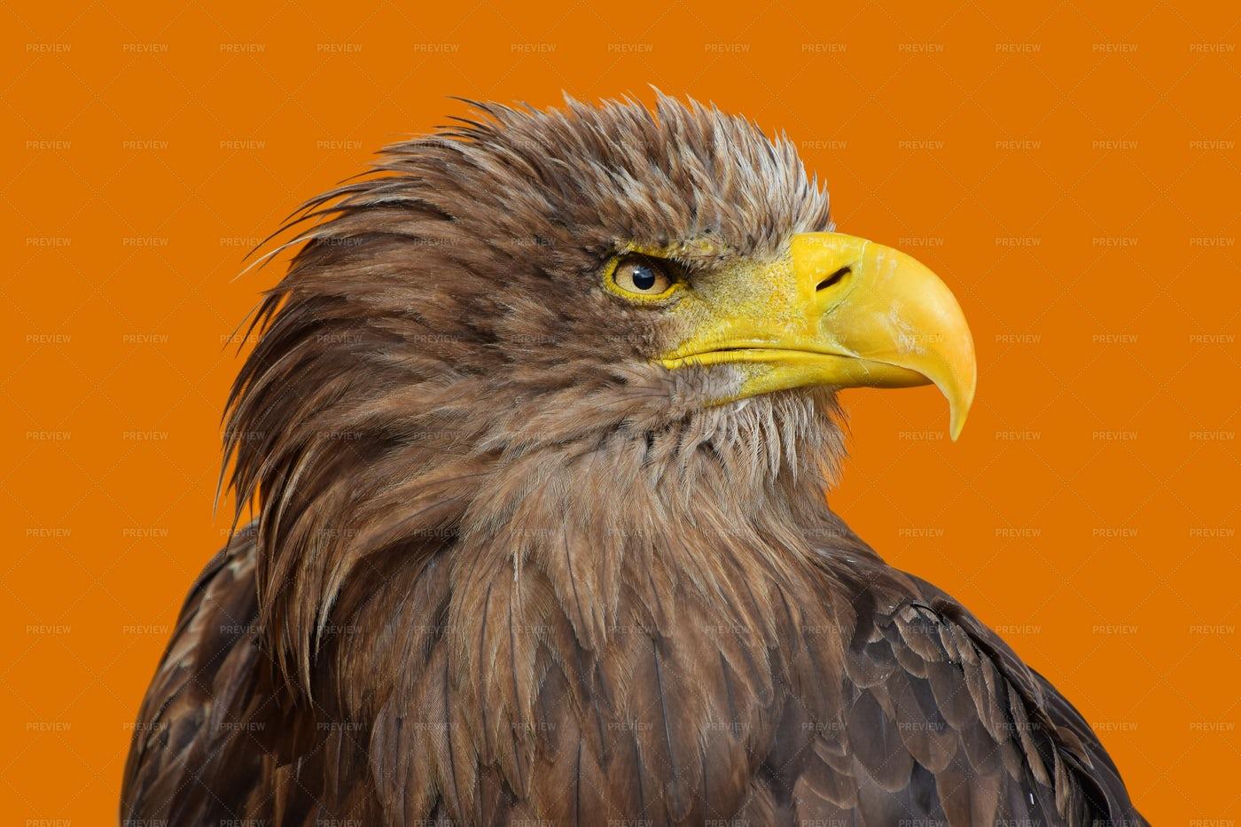 Portrait Of Eagle: Stock Photos