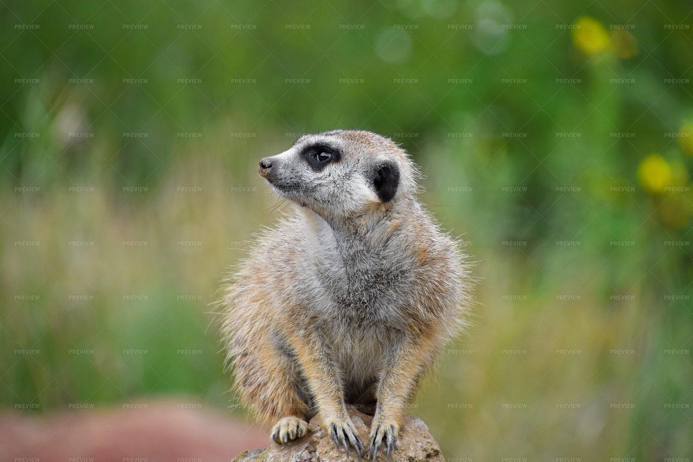 Meerkat Portrait: Stock Photos