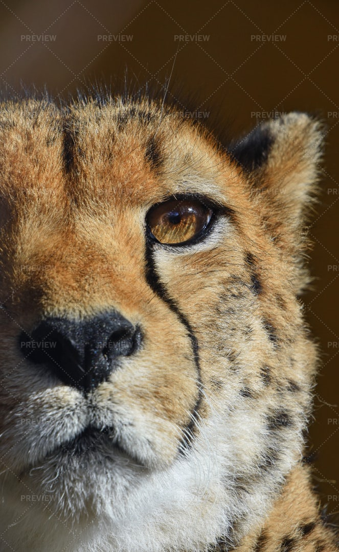 Portrait Of Cheetah: Stock Photos