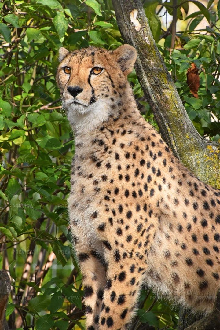 Cheetah Portrait: Stock Photos