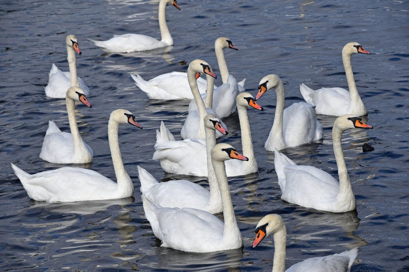 White Swans Swimming: Stock Photos