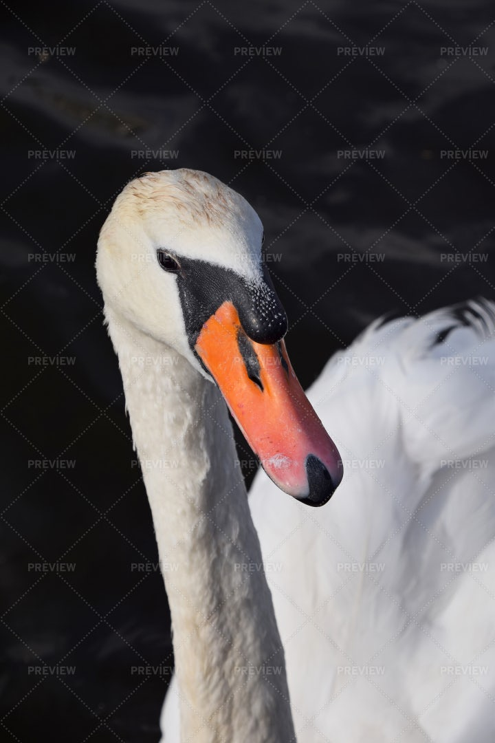 A Swimming Swan: Stock Photos