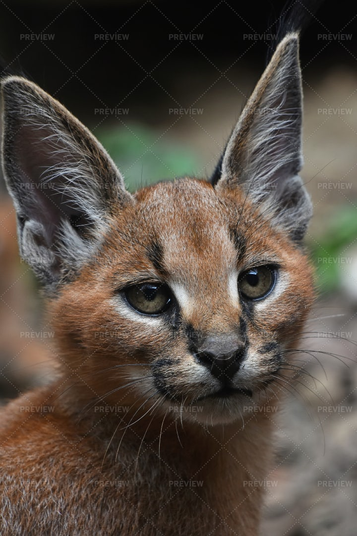 Caracal Kitten: Stock Photos