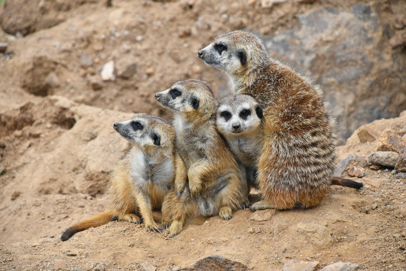 Meerkat Family: Stock Photos