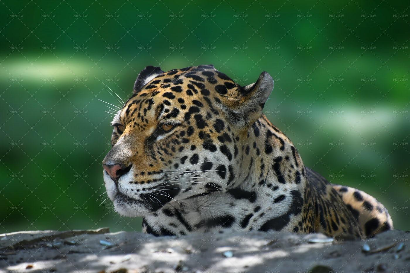 Portrait Of A Jaguar: Stock Photos