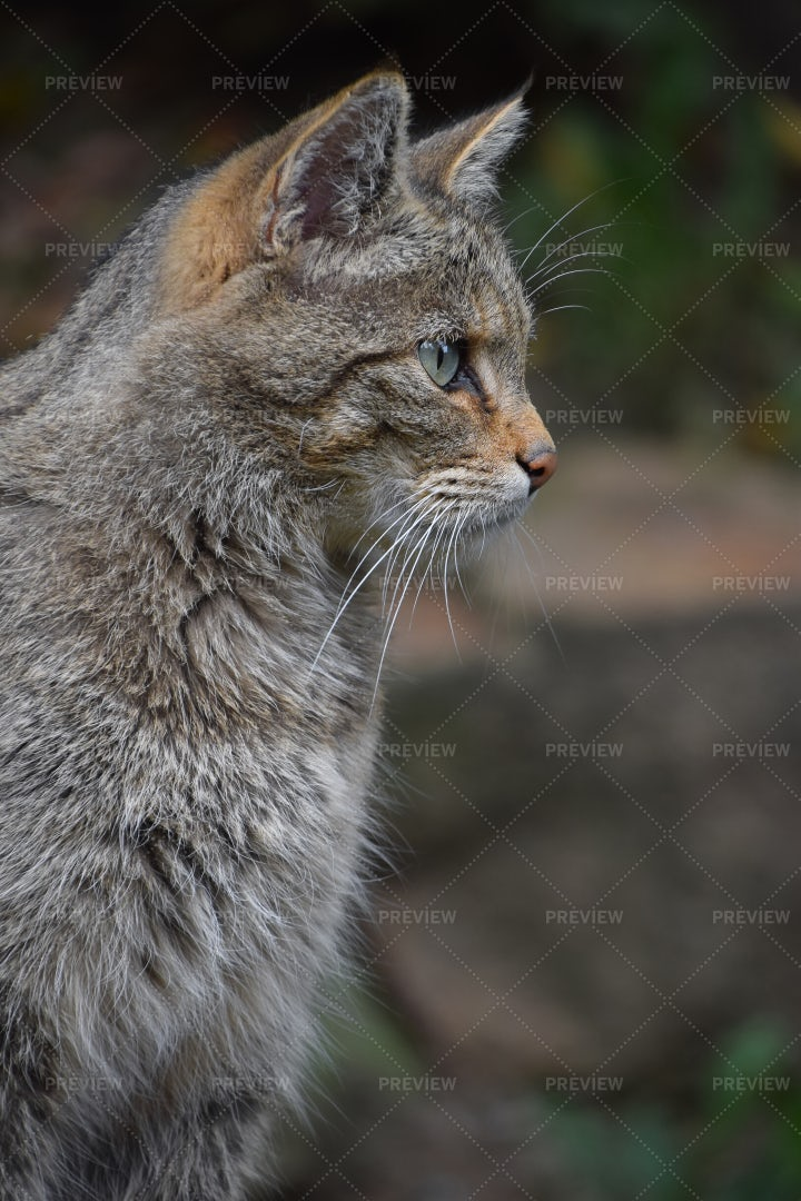 European Wildcat Portrait: Stock Photos