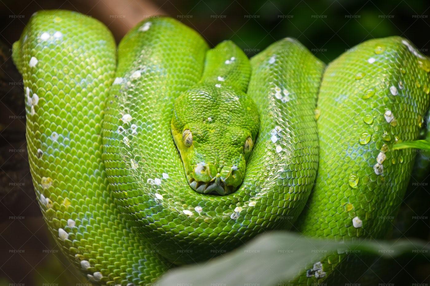 Green Tree Python: Stock Photos