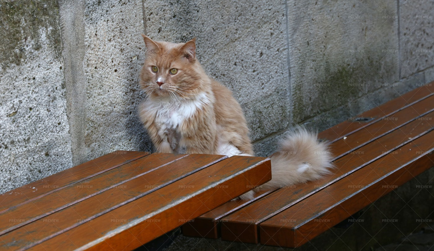 Ginger Domestic Cat: Stock Photos