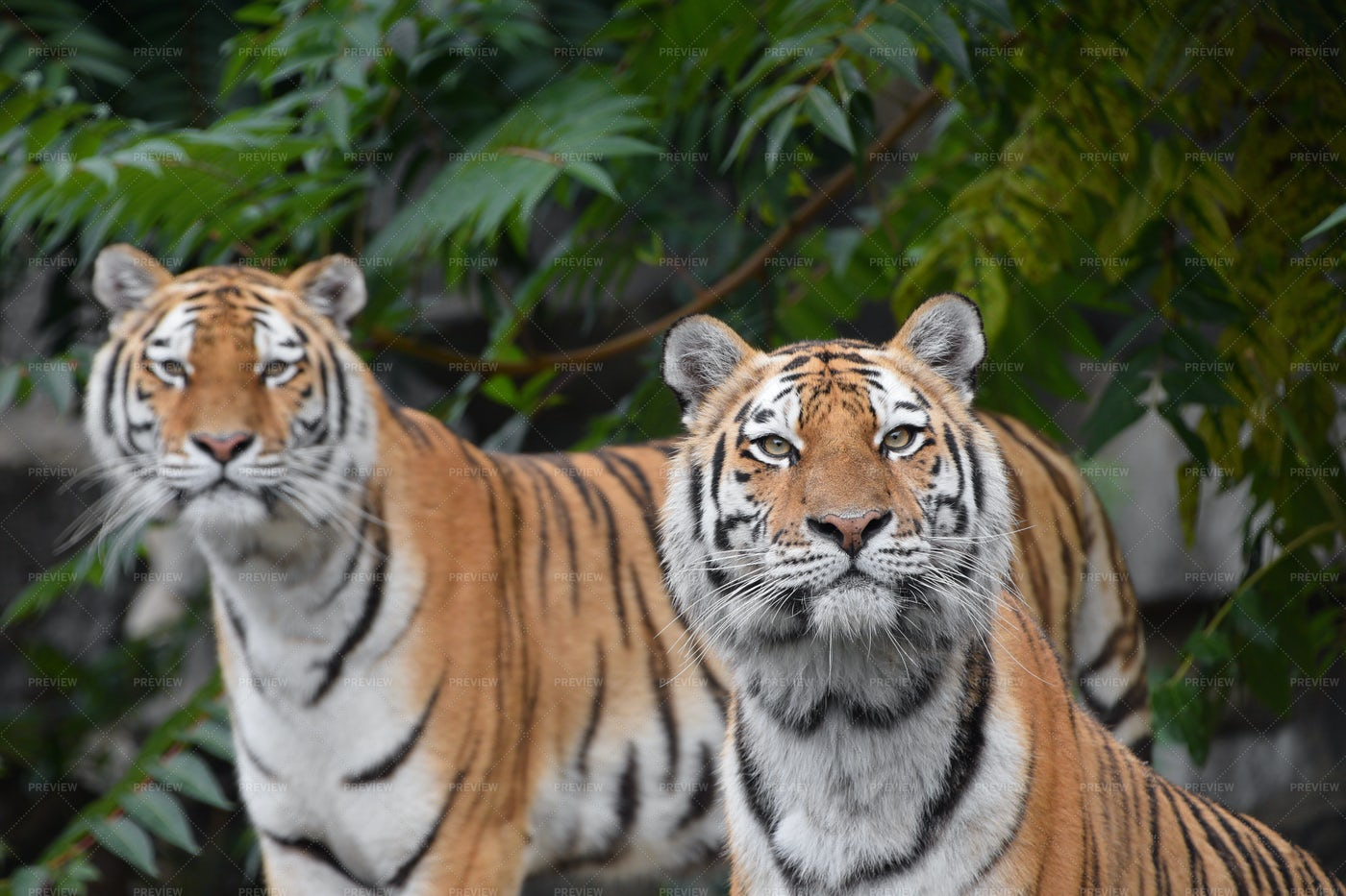 Two Amur Tigers: Stock Photos