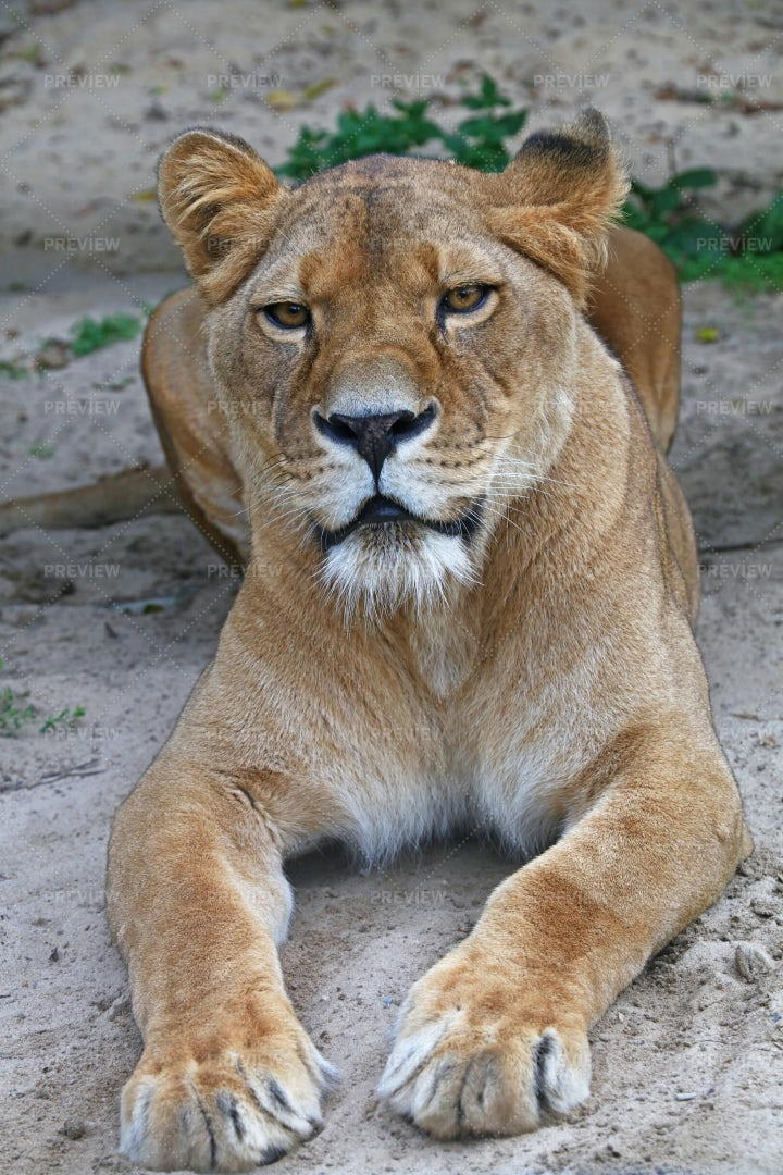 Lying African Lioness: Stock Photos