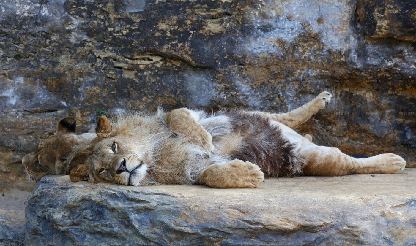 African Lion Lying Down: Stock Photos