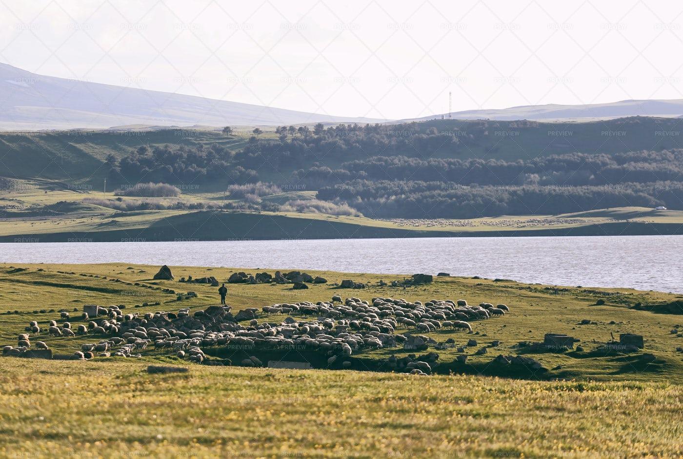Sheeps And Lake: Stock Photos