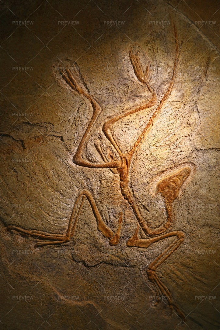 Fossil Remains Of Archaeopteryx: Stock Photos