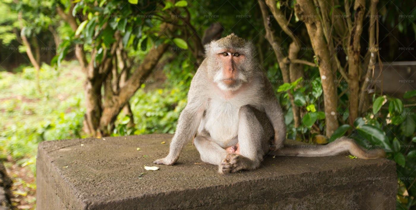 A Sitting Monkey: Stock Photos