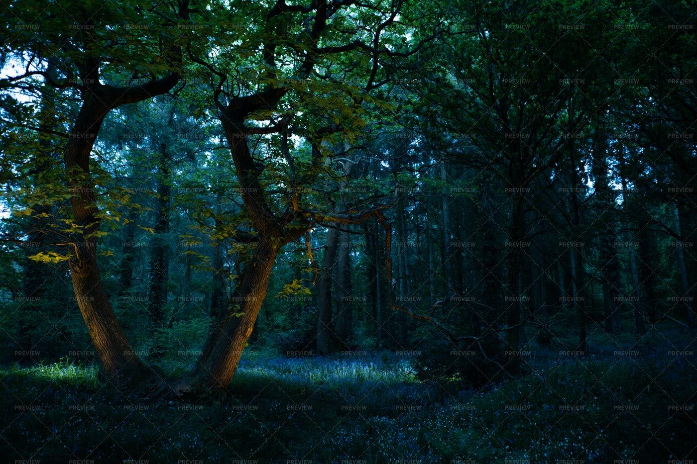 Dark Bluebell Forest: Stock Photos