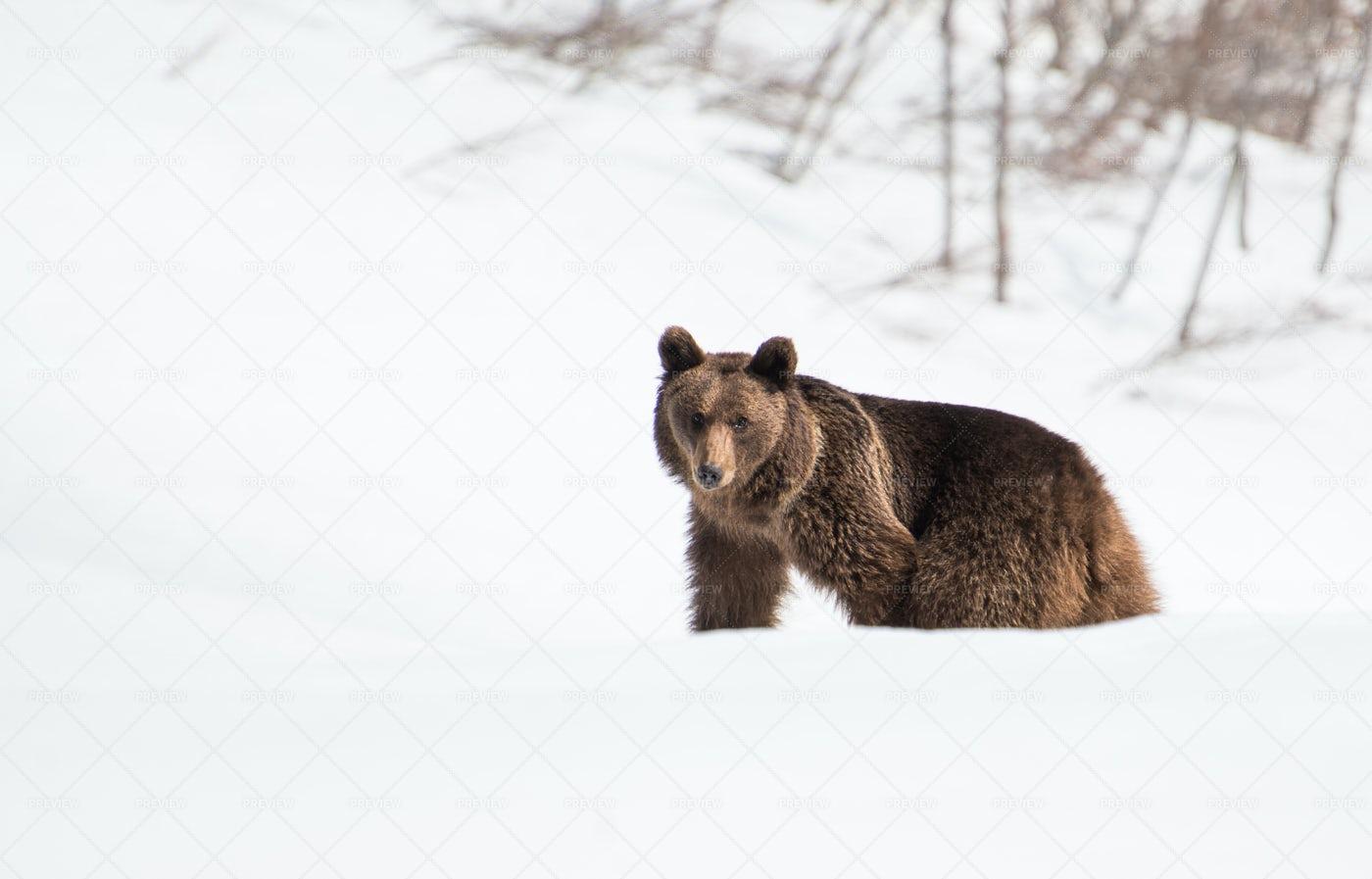 Wild Bear: Stock Photos