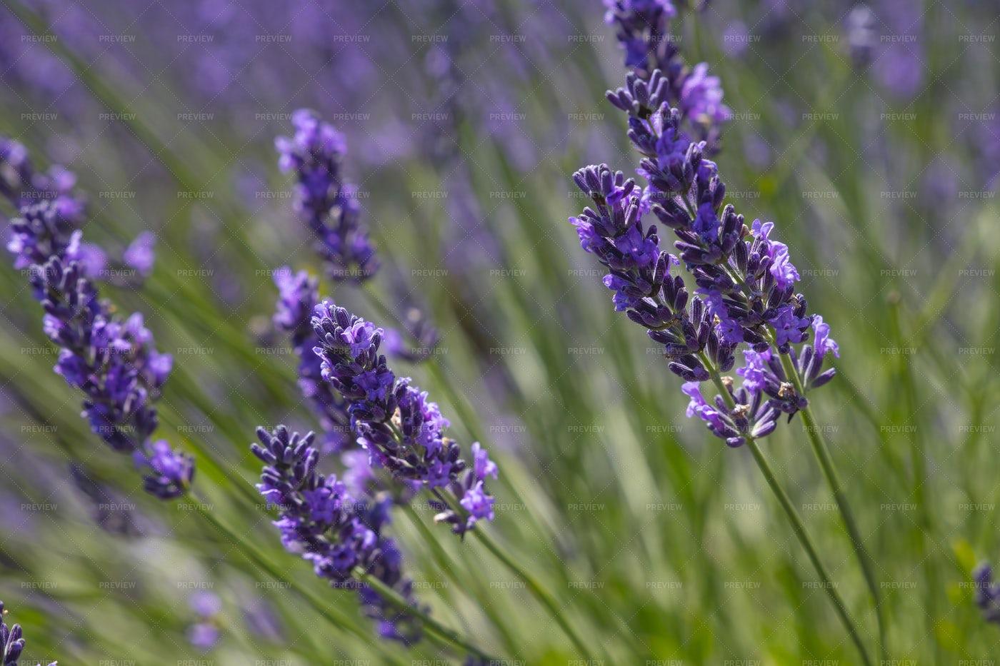 Purple Lavender Flowers: Stock Photos