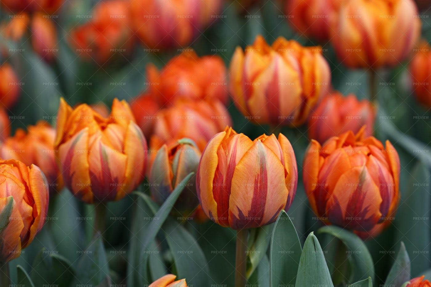 Orange Fresh Tulips: Stock Photos