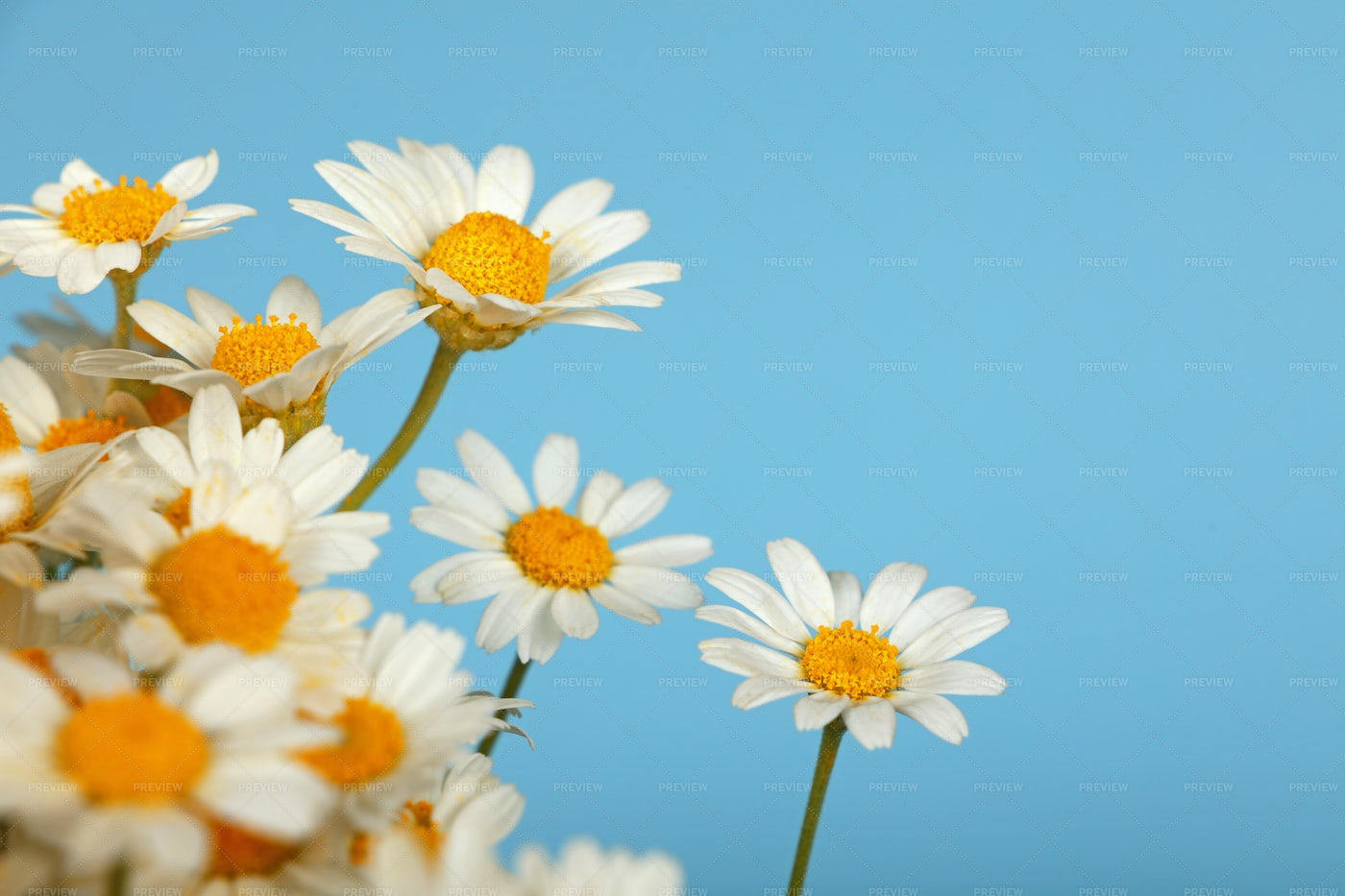 Bouquet Of Chamomile Flowers: Stock Photos