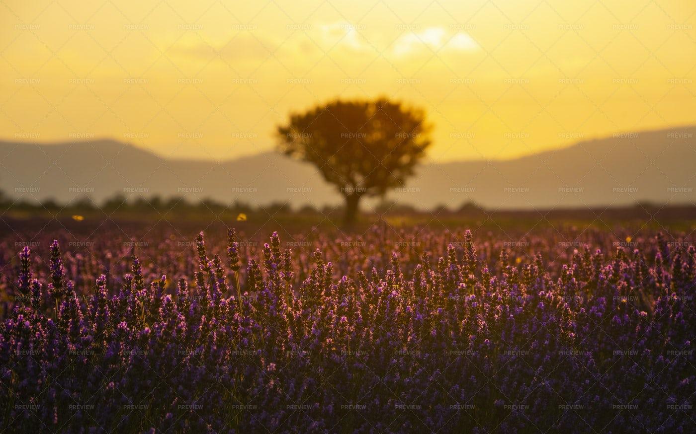 Purple Lavender Field Of Provence: Stock Photos