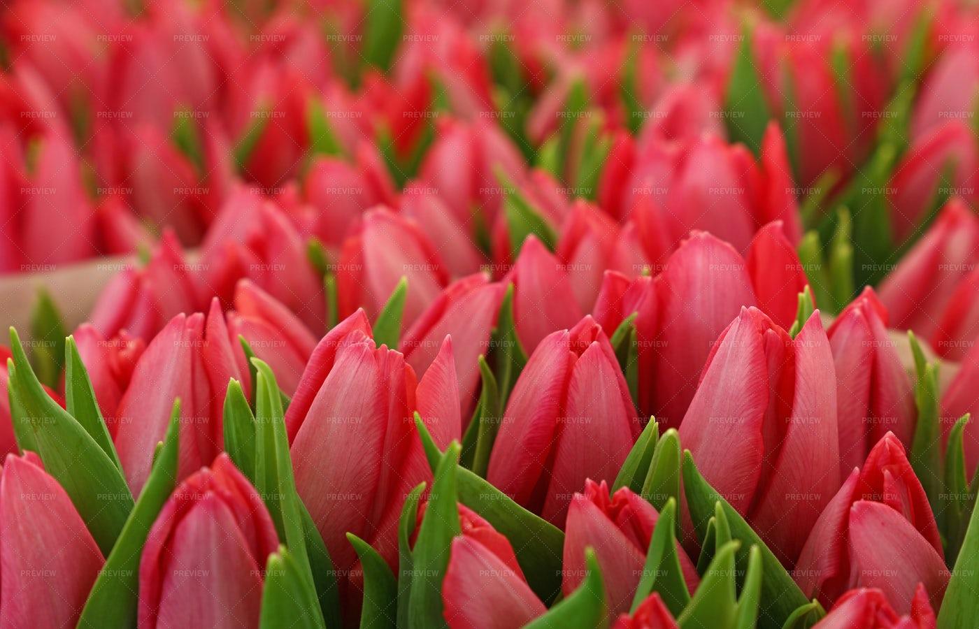 Pink Tulip Bouquet: Stock Photos