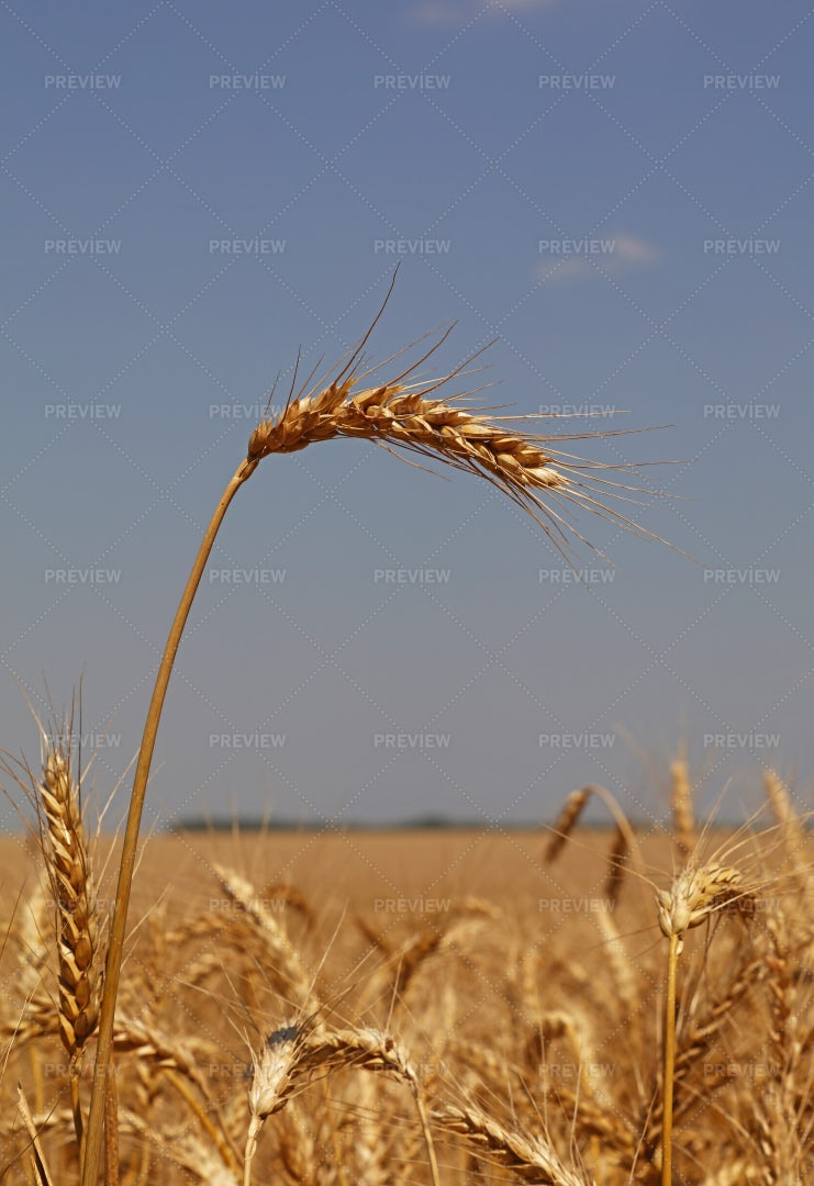 Field Of Wheat: Stock Photos