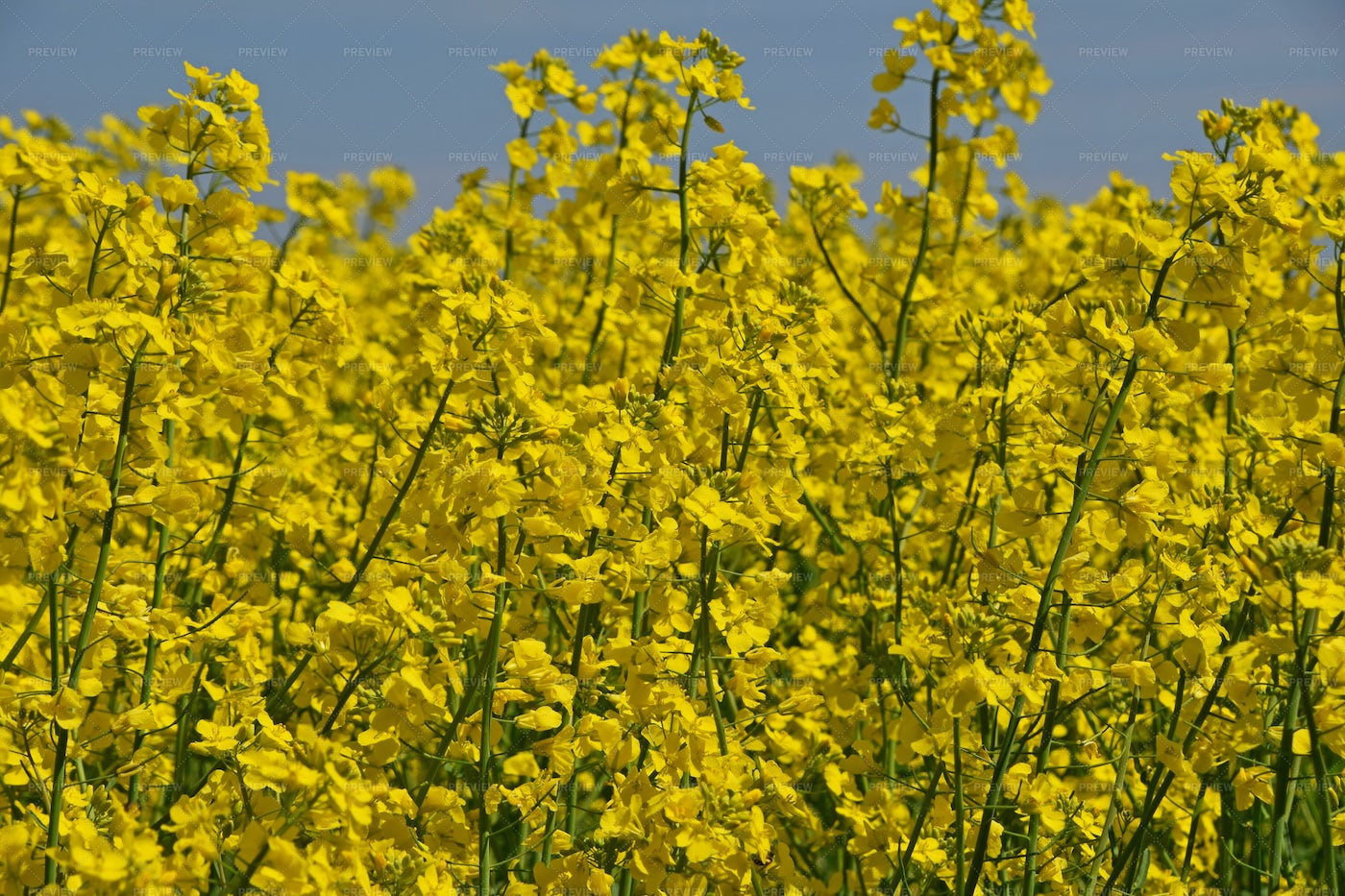 Yellow Rapeseed Flowers: Stock Photos