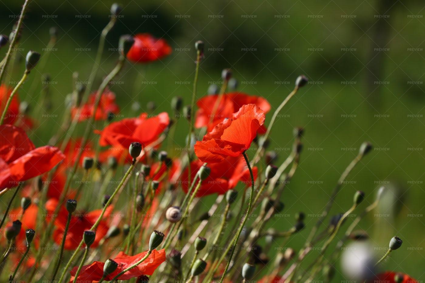Red Poppy Flowers: Stock Photos