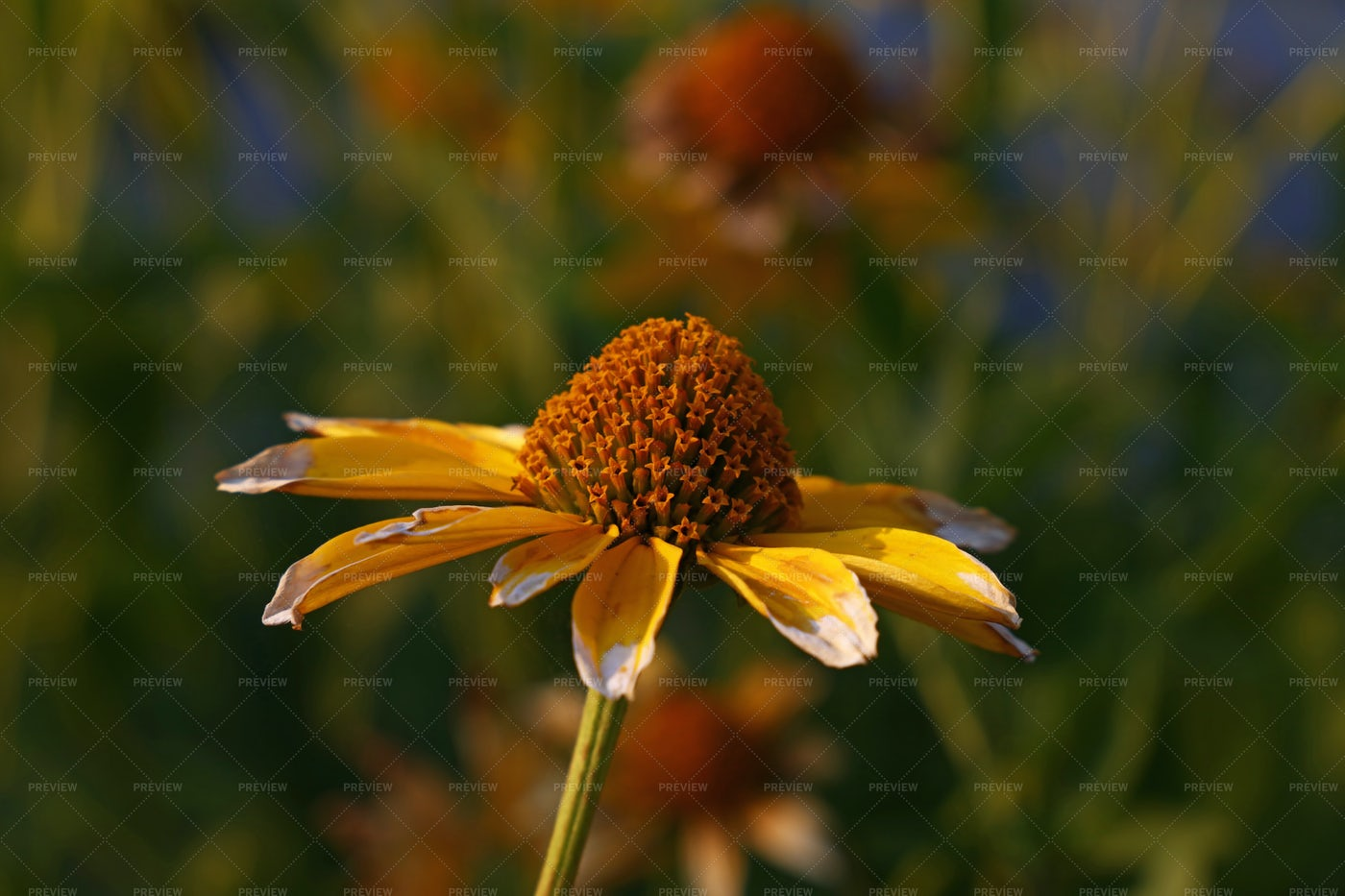 Yellow Echinacea Flower: Stock Photos