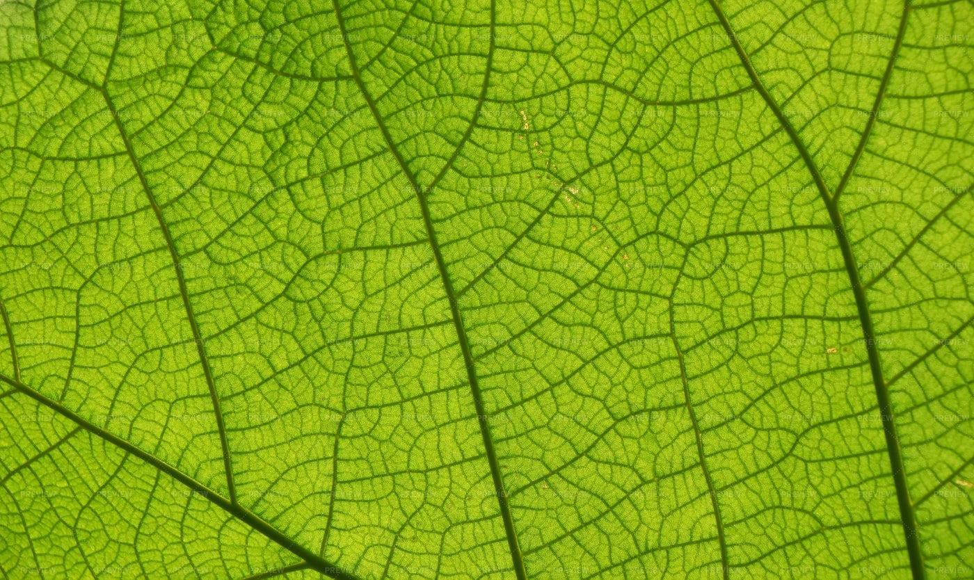 Green Leaf Veins: Stock Photos