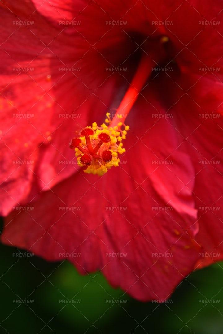 Red Hibiscus Flower: Stock Photos
