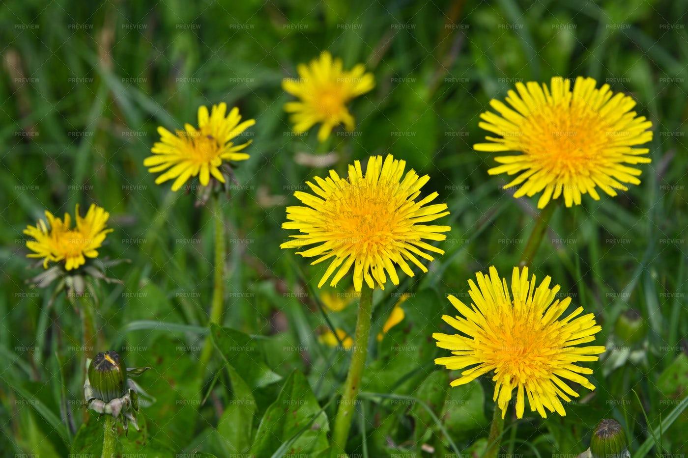 Yellow Dandelion Flowers: Stock Photos