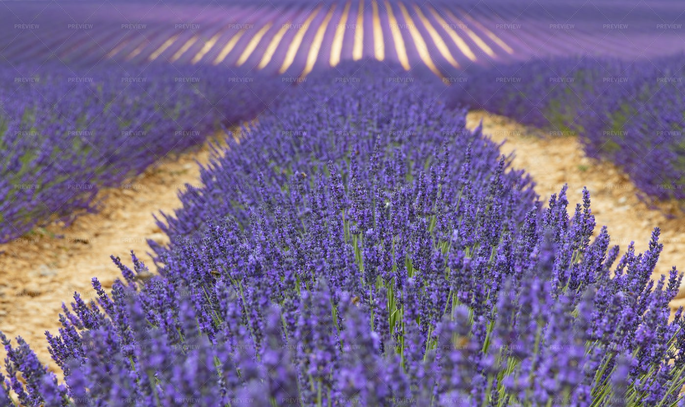 Provence's Lavender Fields: Stock Photos