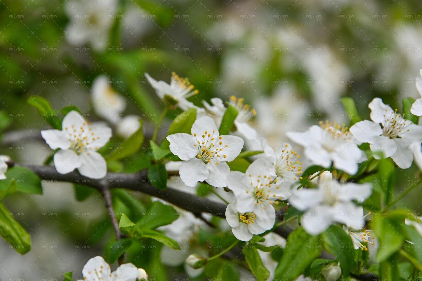White Cherry Blossom Close-Up: Stock Photos