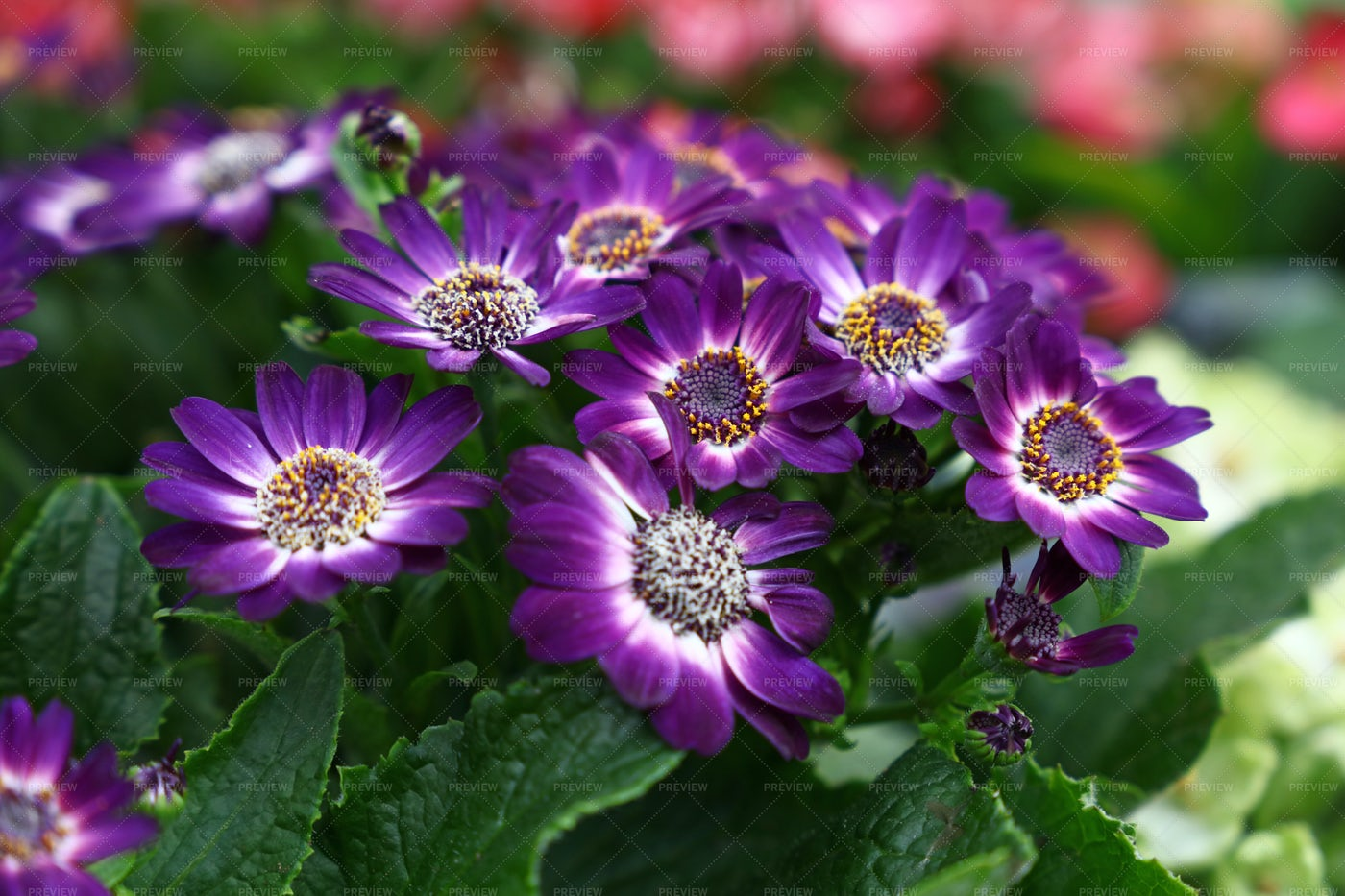 Purple Cineraria Flowers: Stock Photos