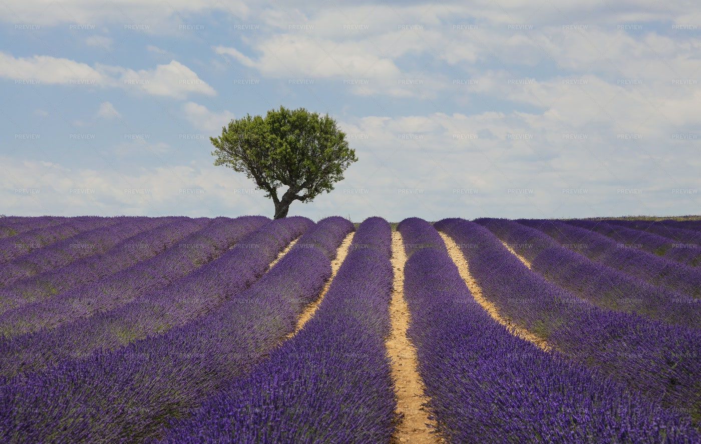Lavender Field Of Provence: Stock Photos