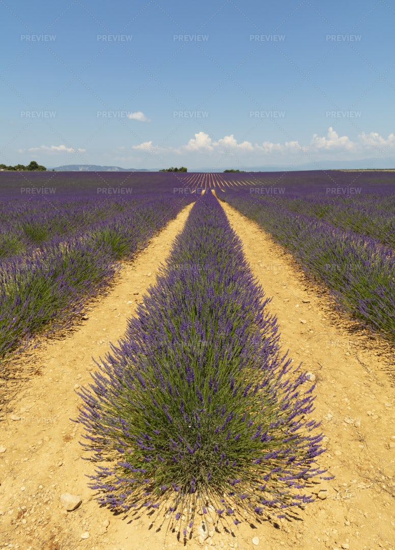 French Lavender Fields: Stock Photos